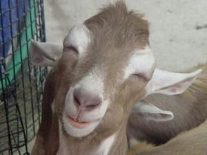 веселый козел