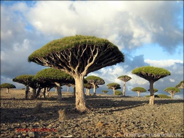 драконово дерево йемен