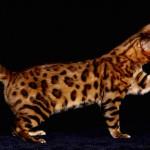 бенгальская кошка песочный окрас фото
