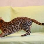бенгальские кошки фото